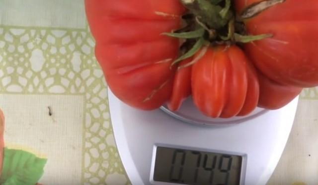 большой помидор